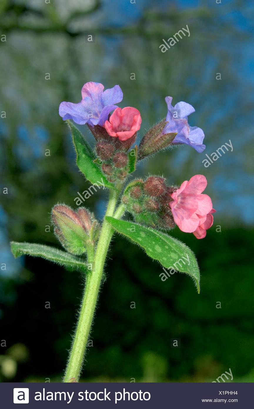 LUNGWORT Pulmonaria officinalis (Boraginaceae) - Stock Image