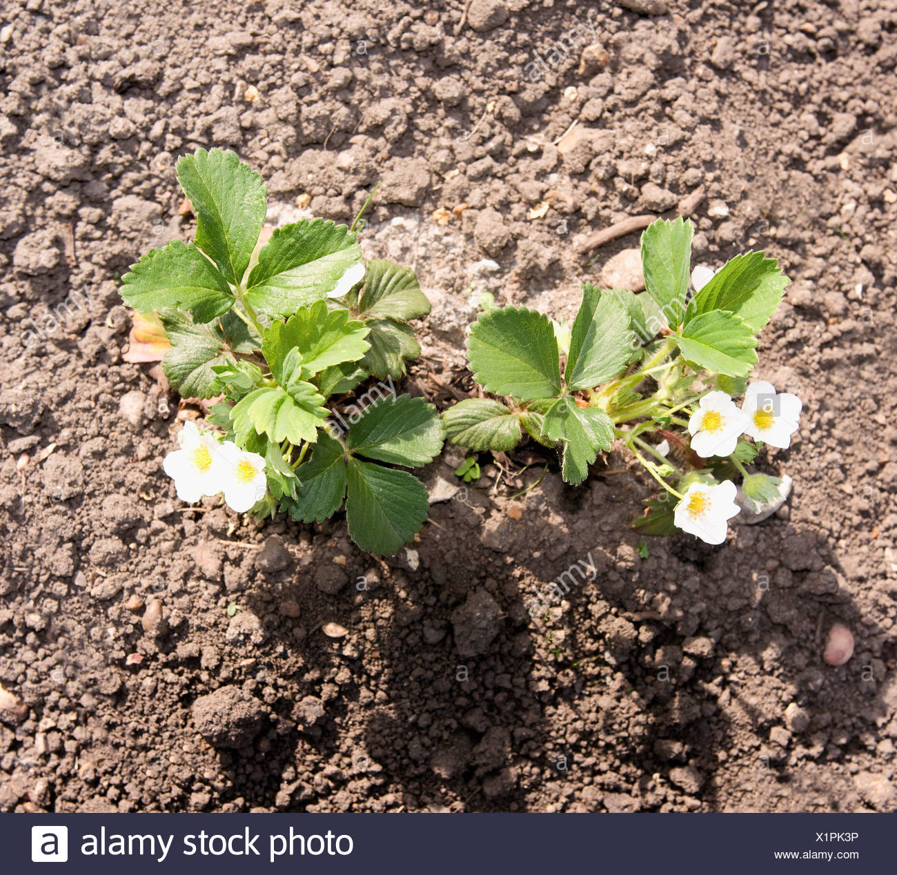 Flower plants growing in soil - Stock Image