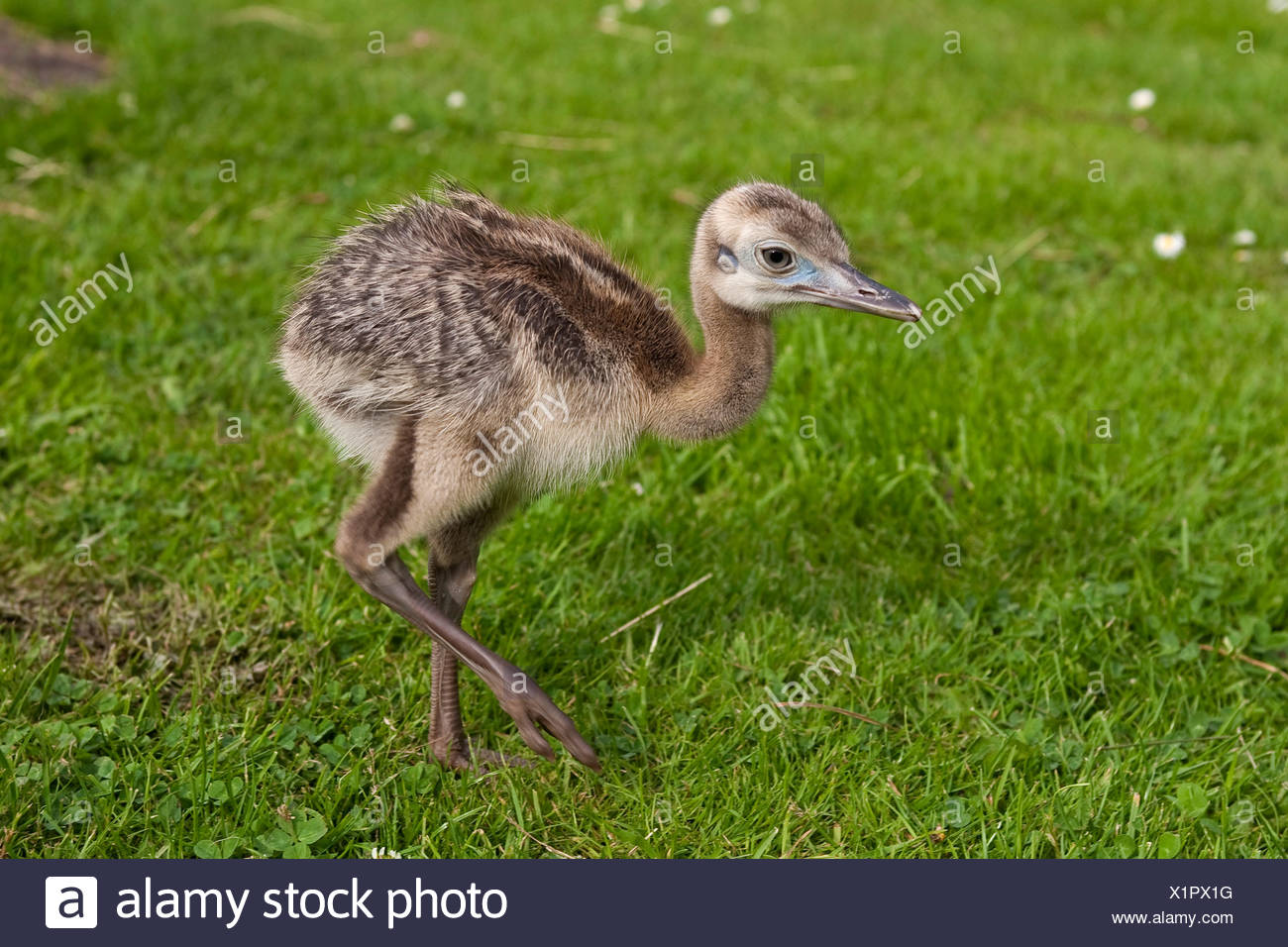greater rhea (Rhea americana), chick walking on a lawn - Stock Image