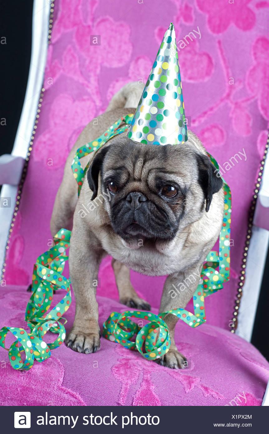 Pug (Canis lupus f. familiaris), pug celebrating party - Stock Image