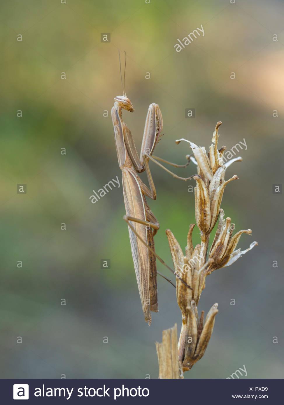 European mantis (Mantis religiosa) - Stock Image