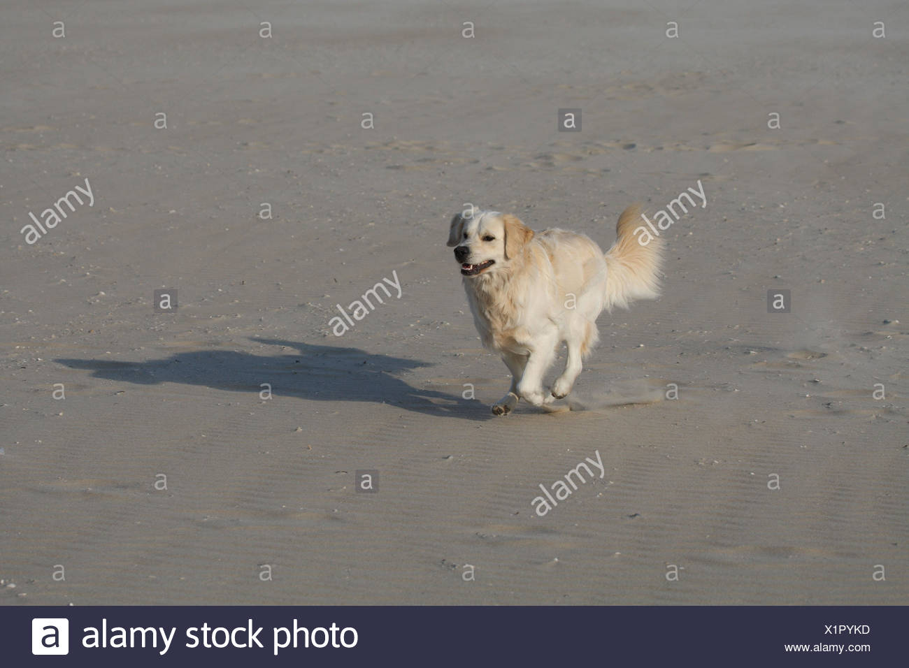 Golden retrievers, beach, run, - Stock Image