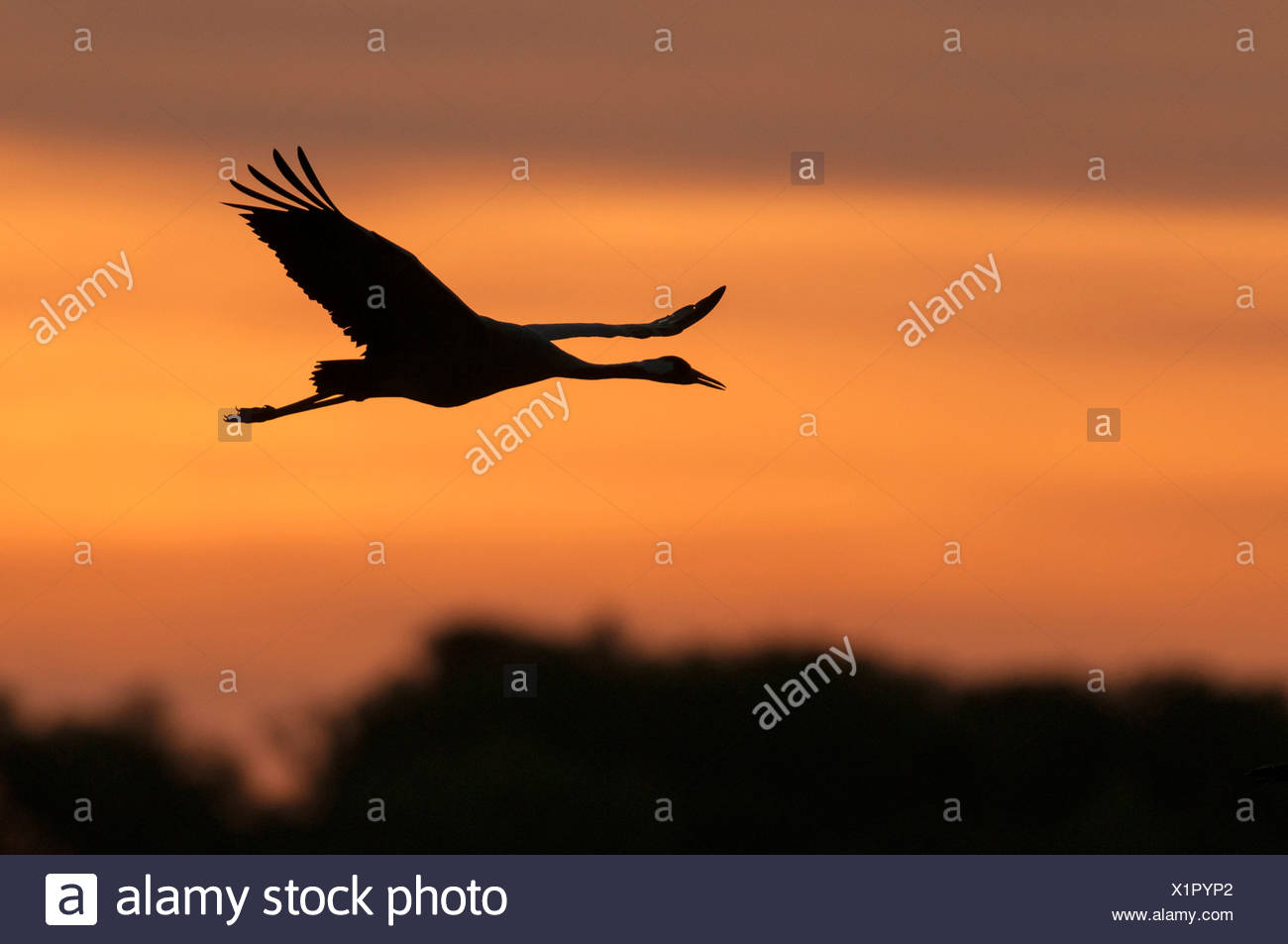 crane at sky, grus grus, germany Stock Photo