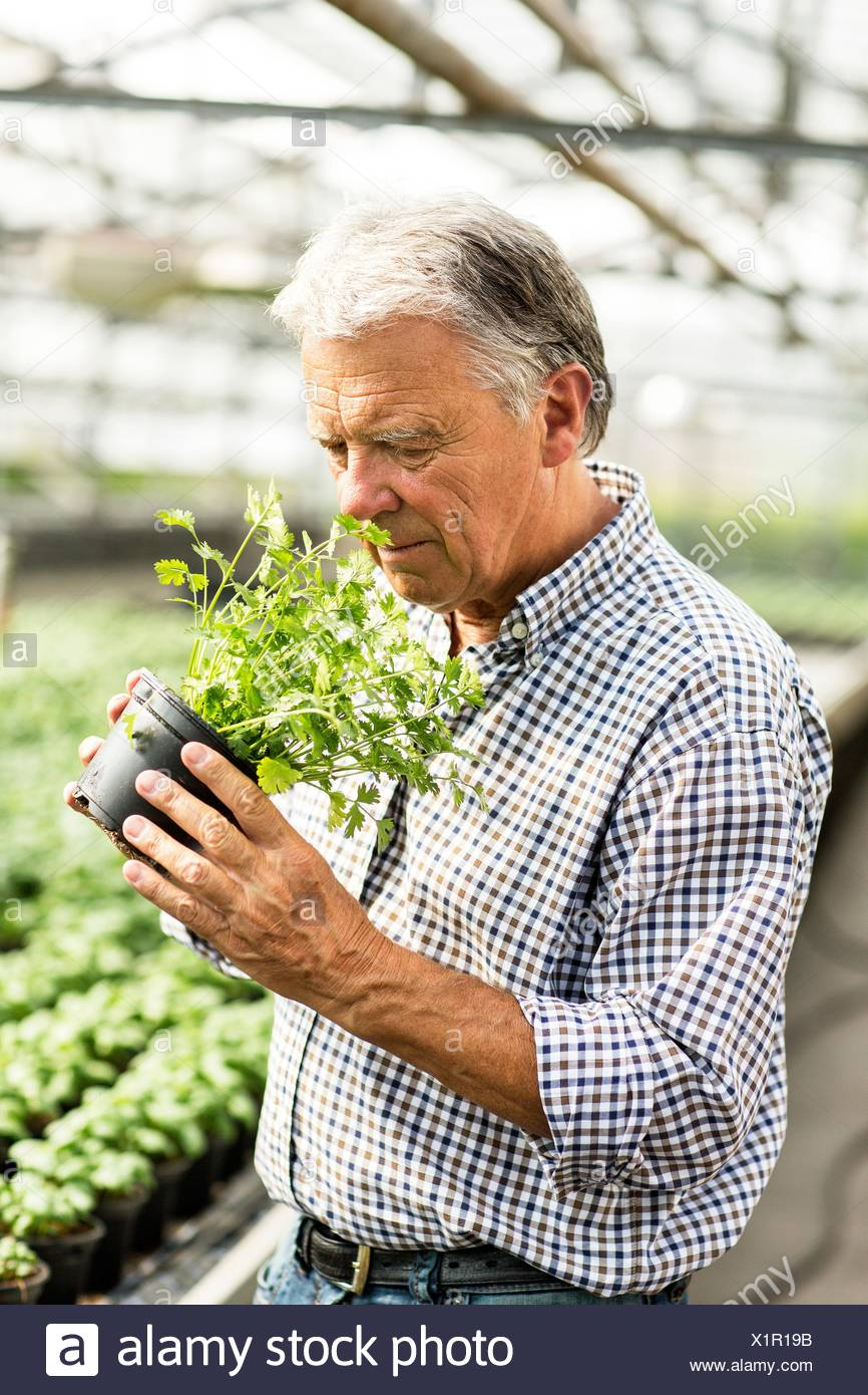 Senior man in hothouse smelling potted herb plant - Stock Image
