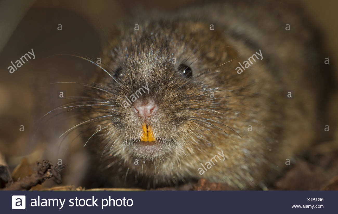 Water vole - Stock Image