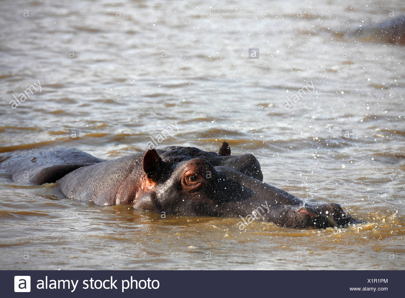 Hippo (Hippopatamus amphibius) breathing out, squirting water, in the water, iSimangaliso Wetland Park, National Park - Stock Image
