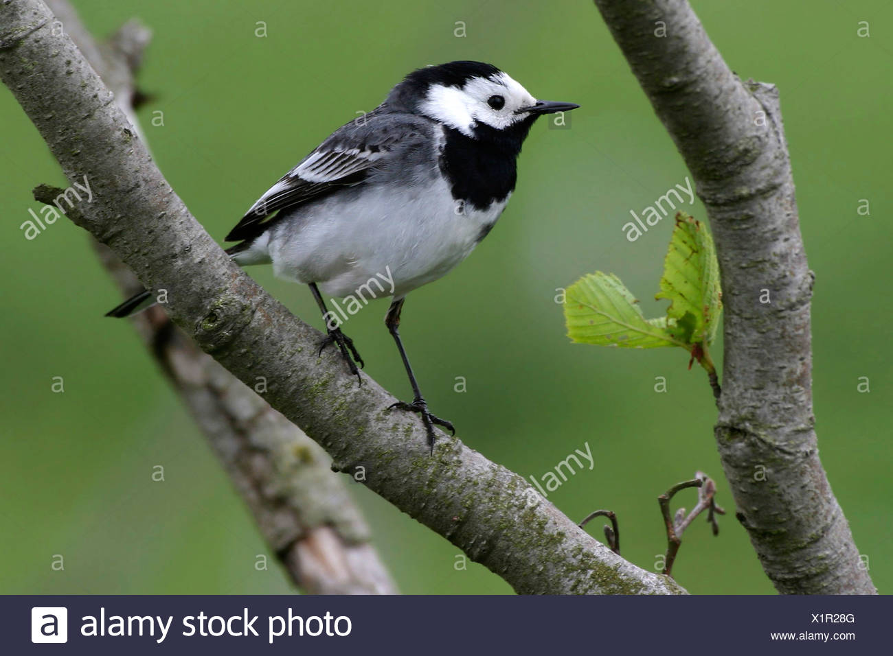 pied wagtail (Motacilla alba), sitting on a branch, Germany - Stock Image