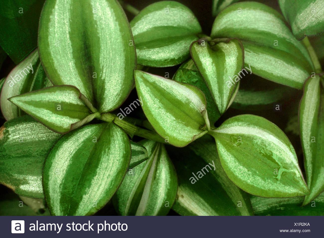 Wandering Jew (Zebrina pendula, Tradescantia zebrina), cultivar Quadricolor - Stock Image