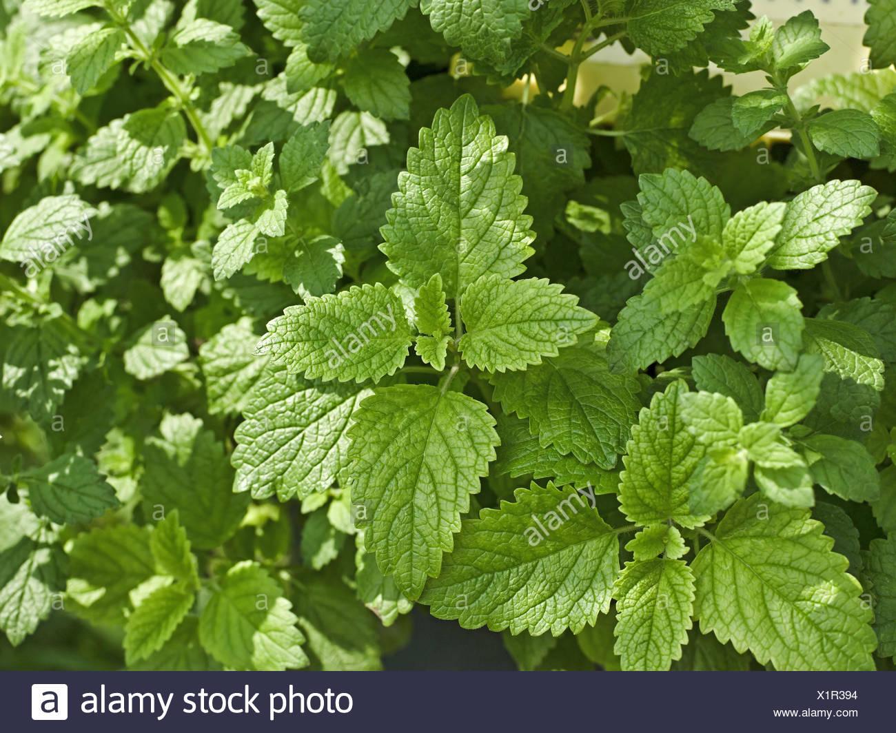Lemon balm, Melissa officinalis, mint family, Lamiaceae, balm leaves, garden, Stock Photo