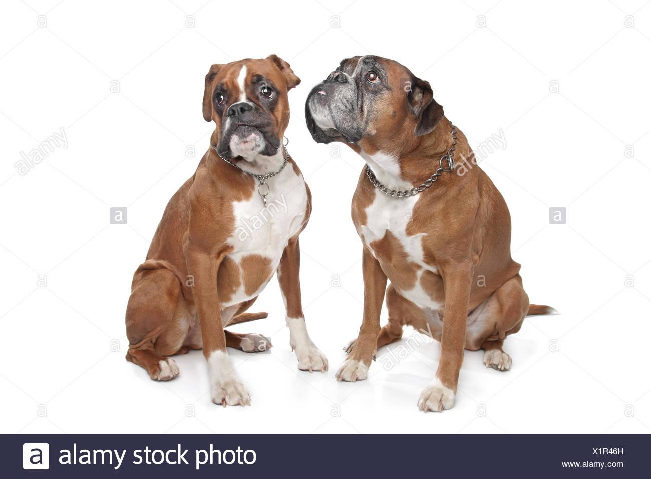 pets pet dog - Stock Image