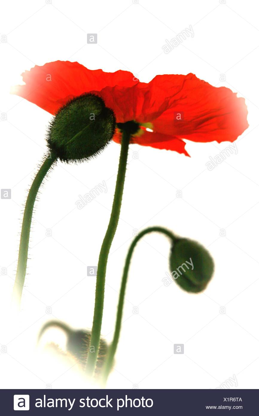 Low Angle View Poppy Blooming By Buds Against Sky - Stock Image