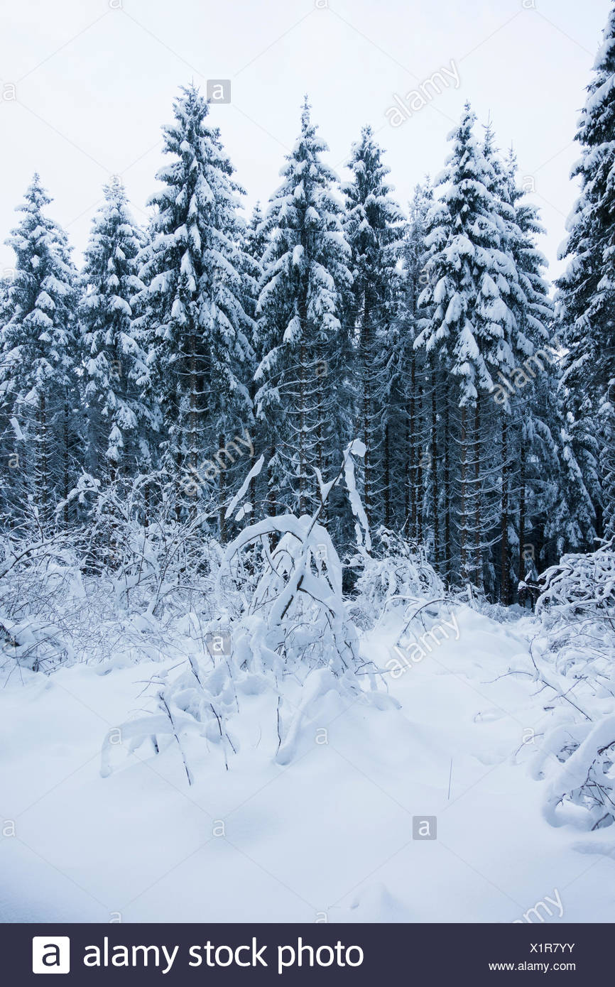 Spruces and shrubs, snow-capped - Stock Image