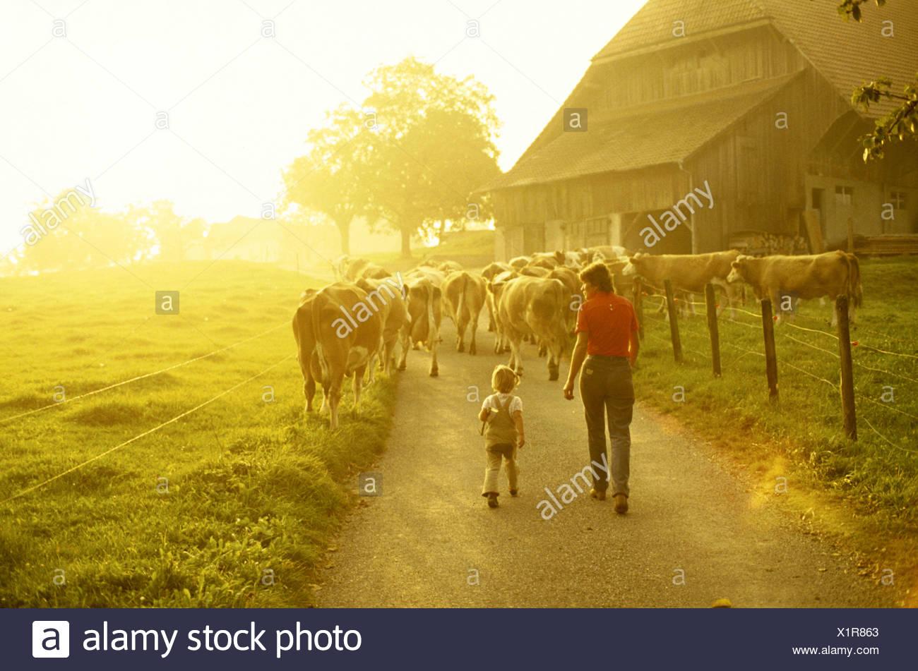 farmer peasant farmers agriculture mood farm back light child cows animals beasts - Stock Image