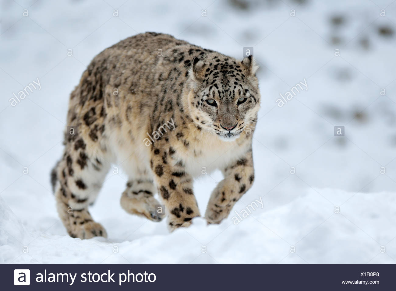Snow Leopard (Panthera uncia), male in the snow, captive, Switzerland - Stock Image
