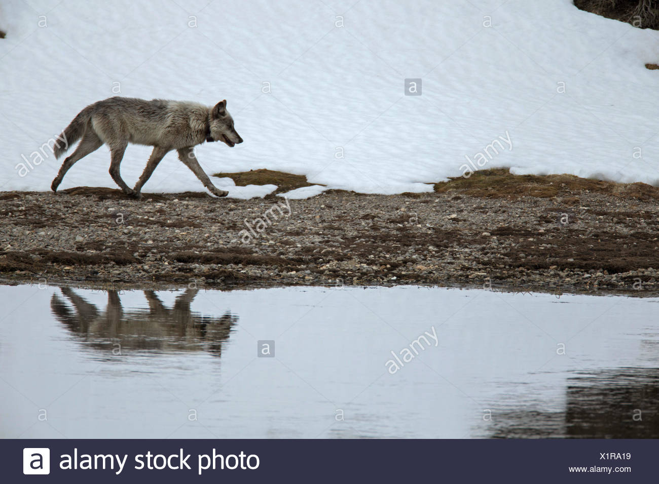 A gray wolf, Canis lupus, wearing a tracking collar, walks along the Yellowstone River. - Stock Image