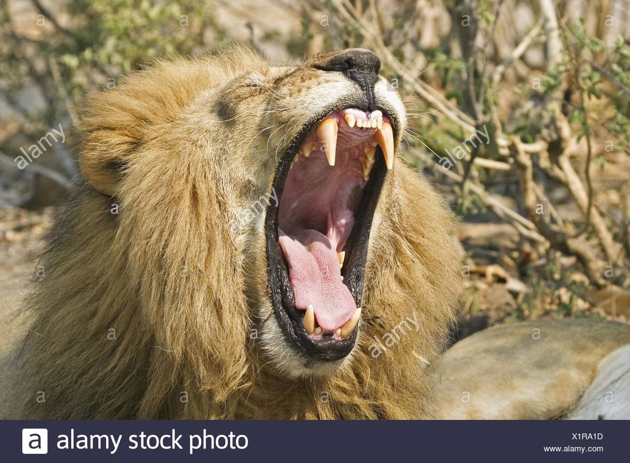 yawning lion - Stock Image