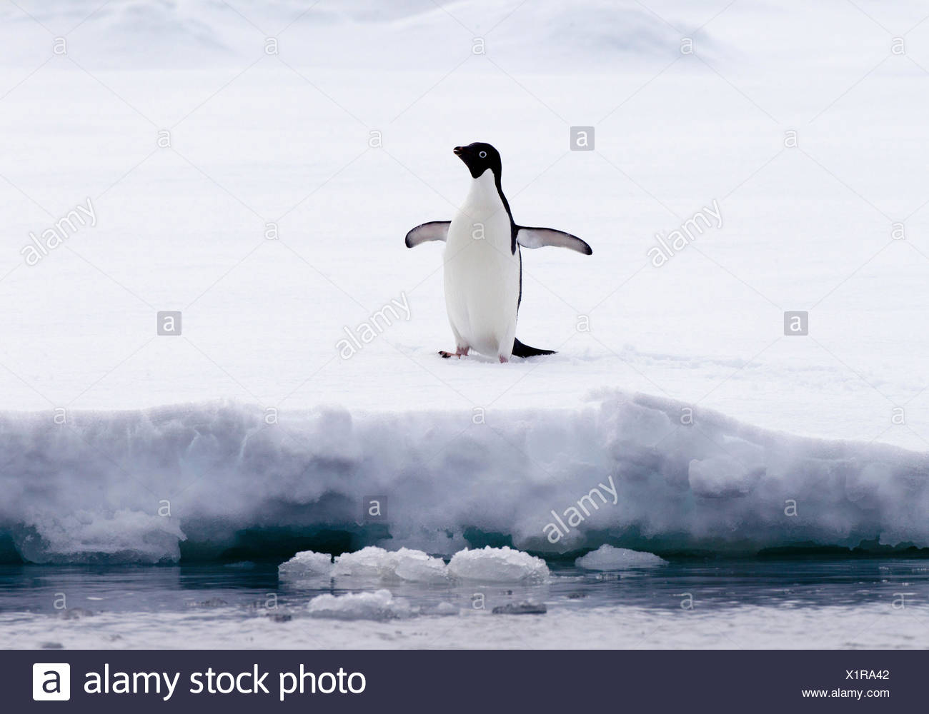 Adelie Penguin on ice floe in the southern ocean, 180 miles north of East Antarctica, Antarctica - Stock Image