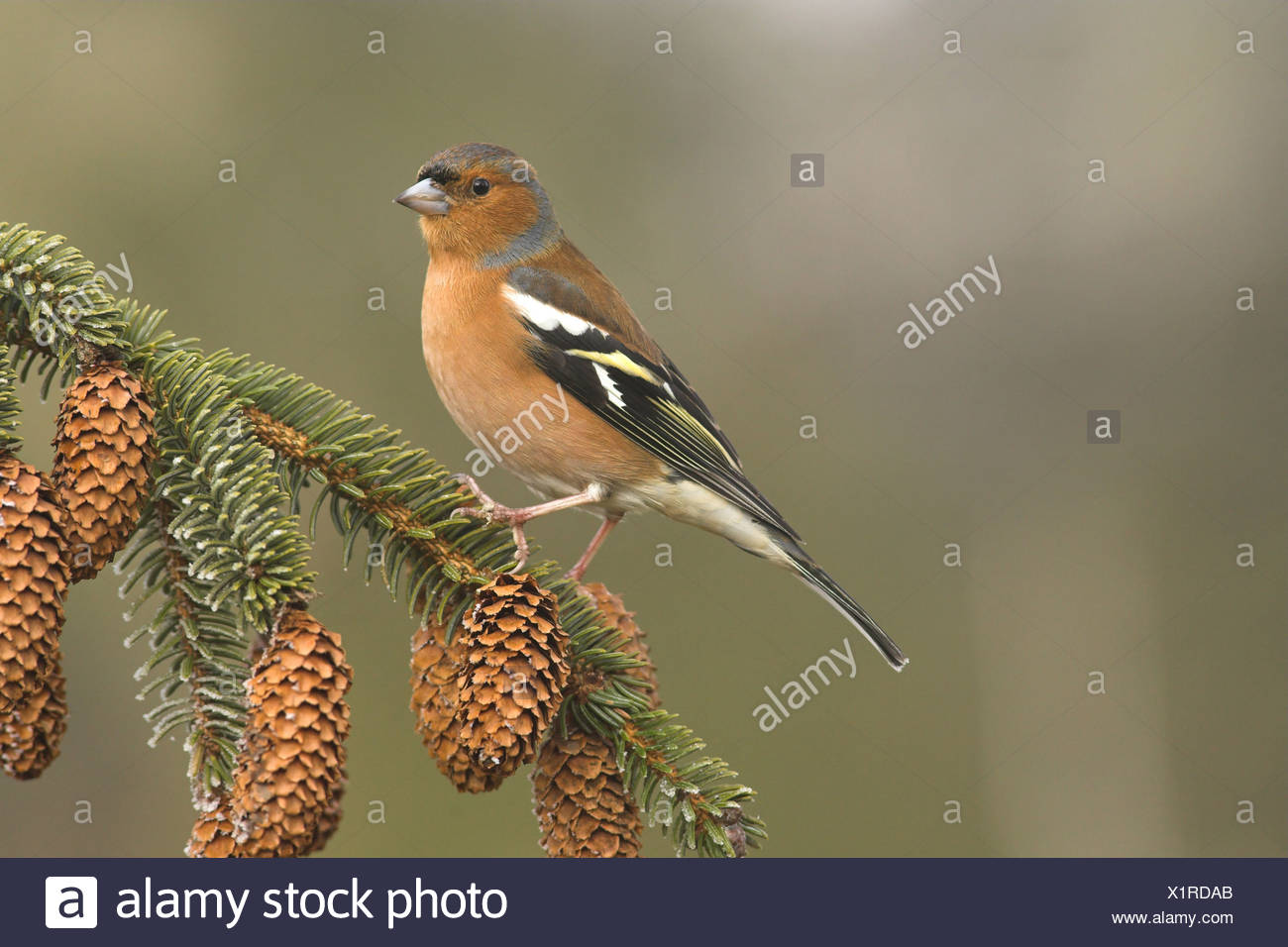 Chaffinch (Fringilla coelebs) adult male, perched on Sitka Spruce (Picea sitchensis) twig with cones, Borders, Scotland, winter - Stock Image