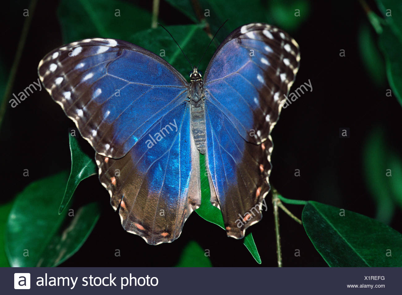 Blue butterfly on a leaf - Stock Image