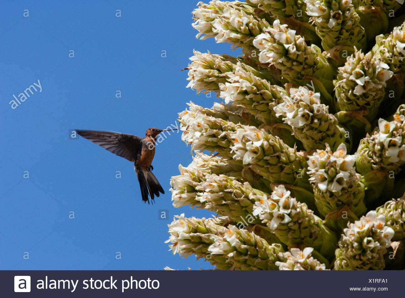 Giant humming bird (Patagona gigas) feeding from Queen of the Andes (Puya raymondii) flowers,  Cordillera Blanca Massif, Andes, Peru, November. Stock Photo