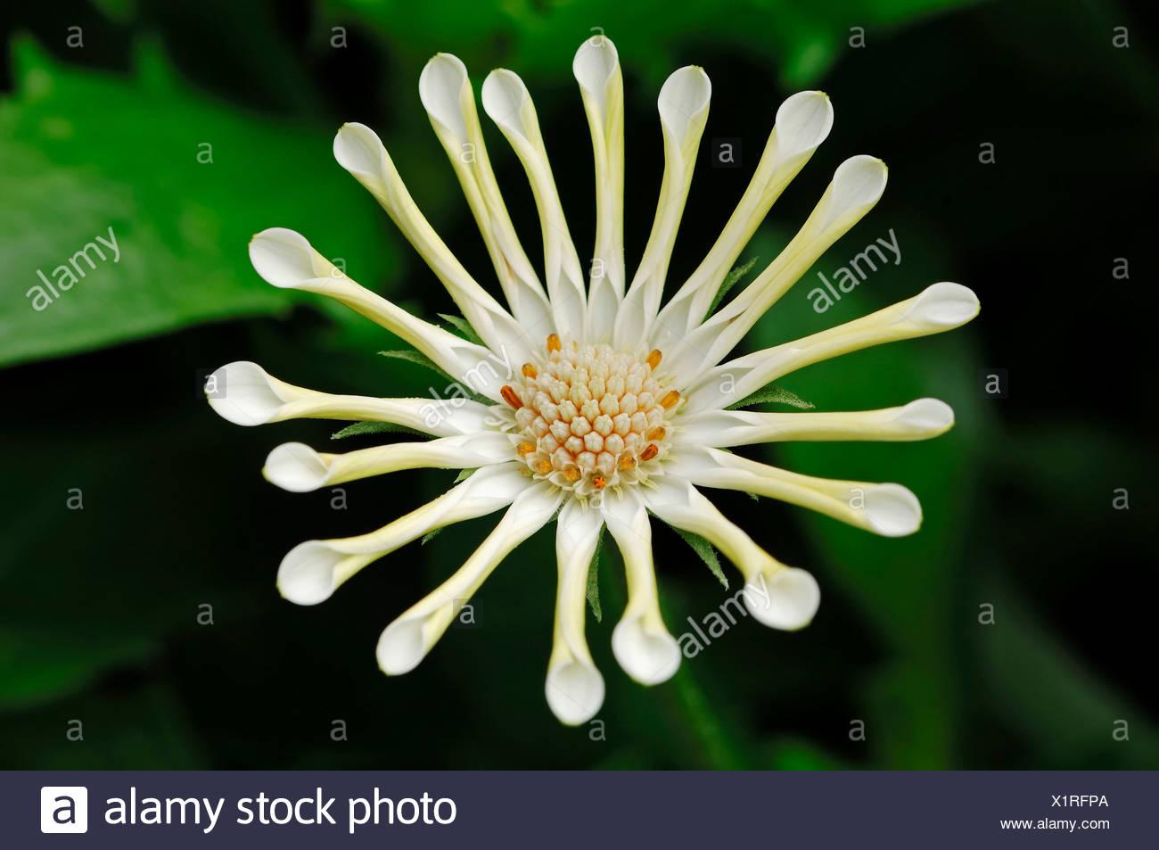 Cape Marguerite, Van Staden's River Daisy, Sundays River Daisy or Star of the Veldt (Dimorphotheca ecklonis - Stock Image