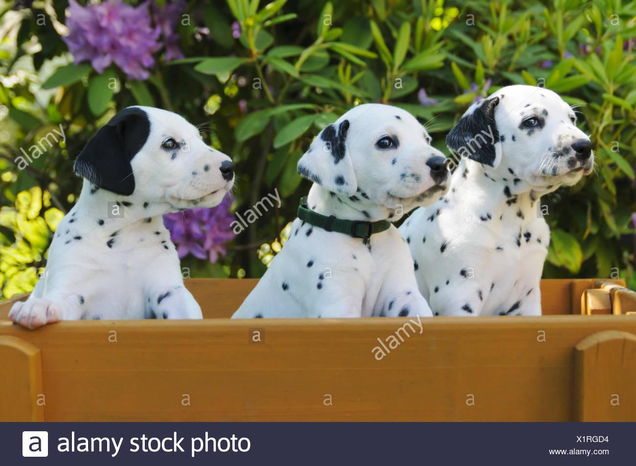 Three Dalmatian puppies, five weeks old - Stock Image