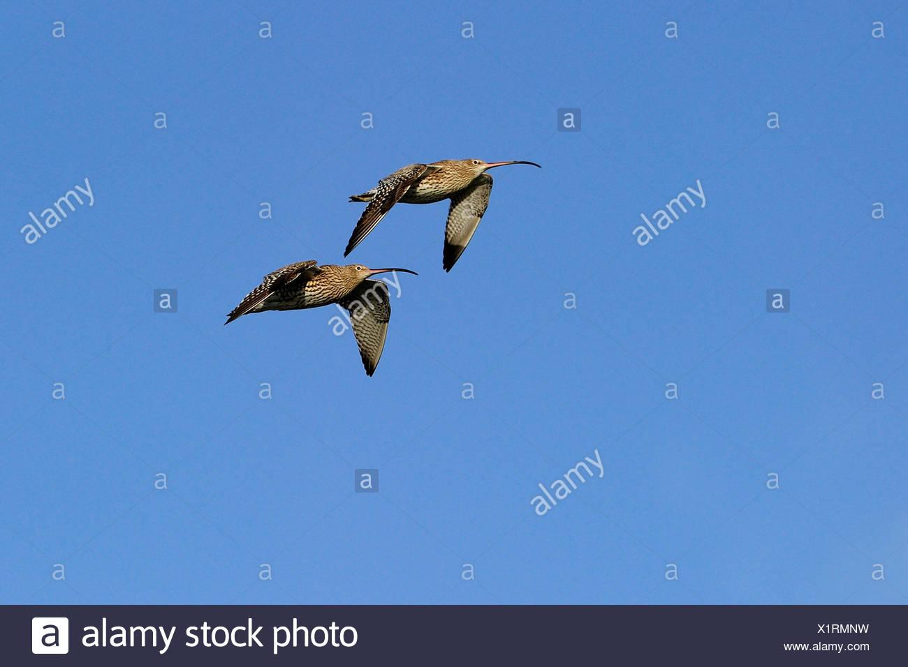 western curlew (Numenius arquata), two birds flying, Germany, North Rhine-Westphalia Stock Photo