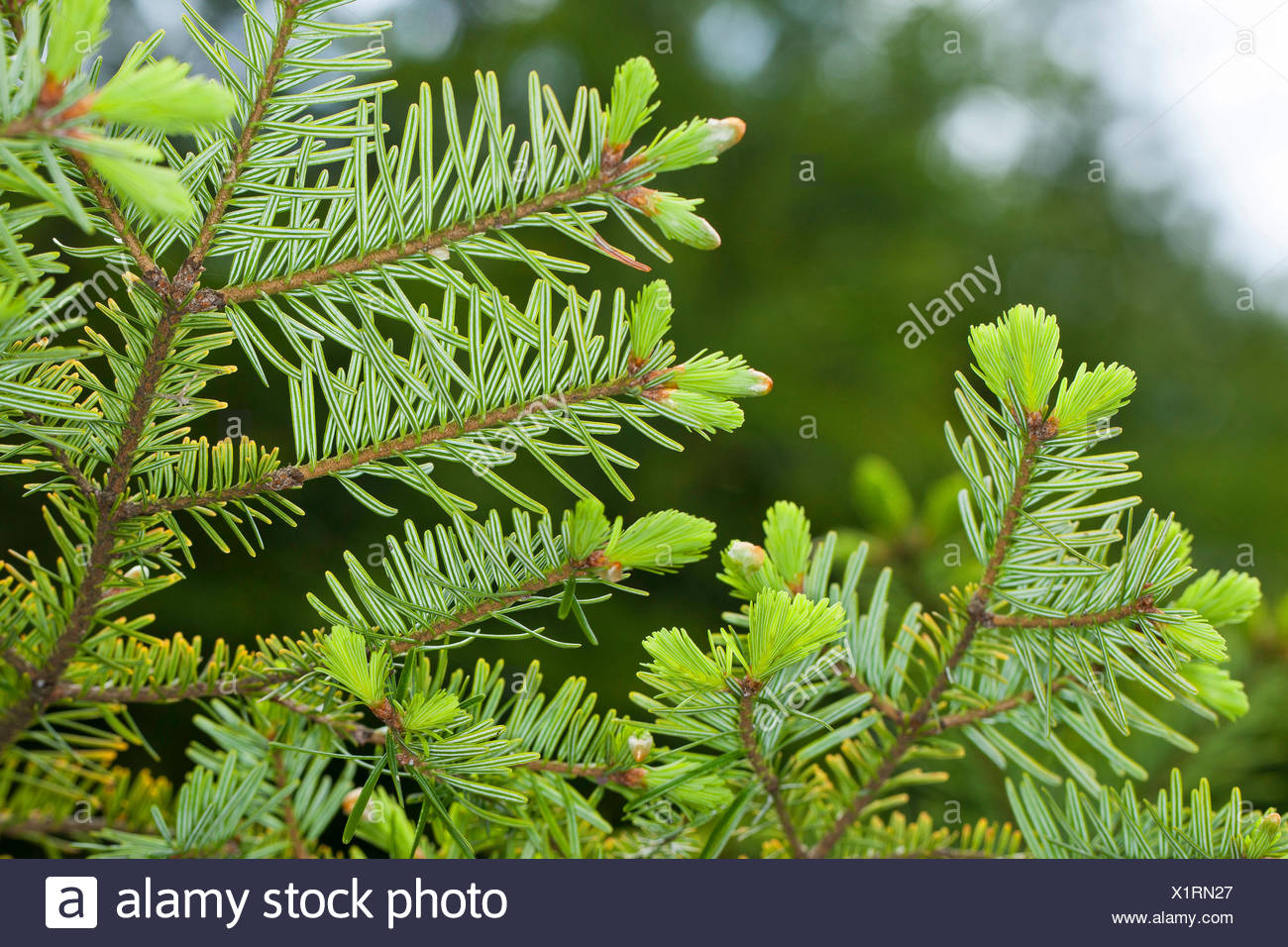 European silver fir (Abies alba), branch from below with young shoots, Germany - Stock Image