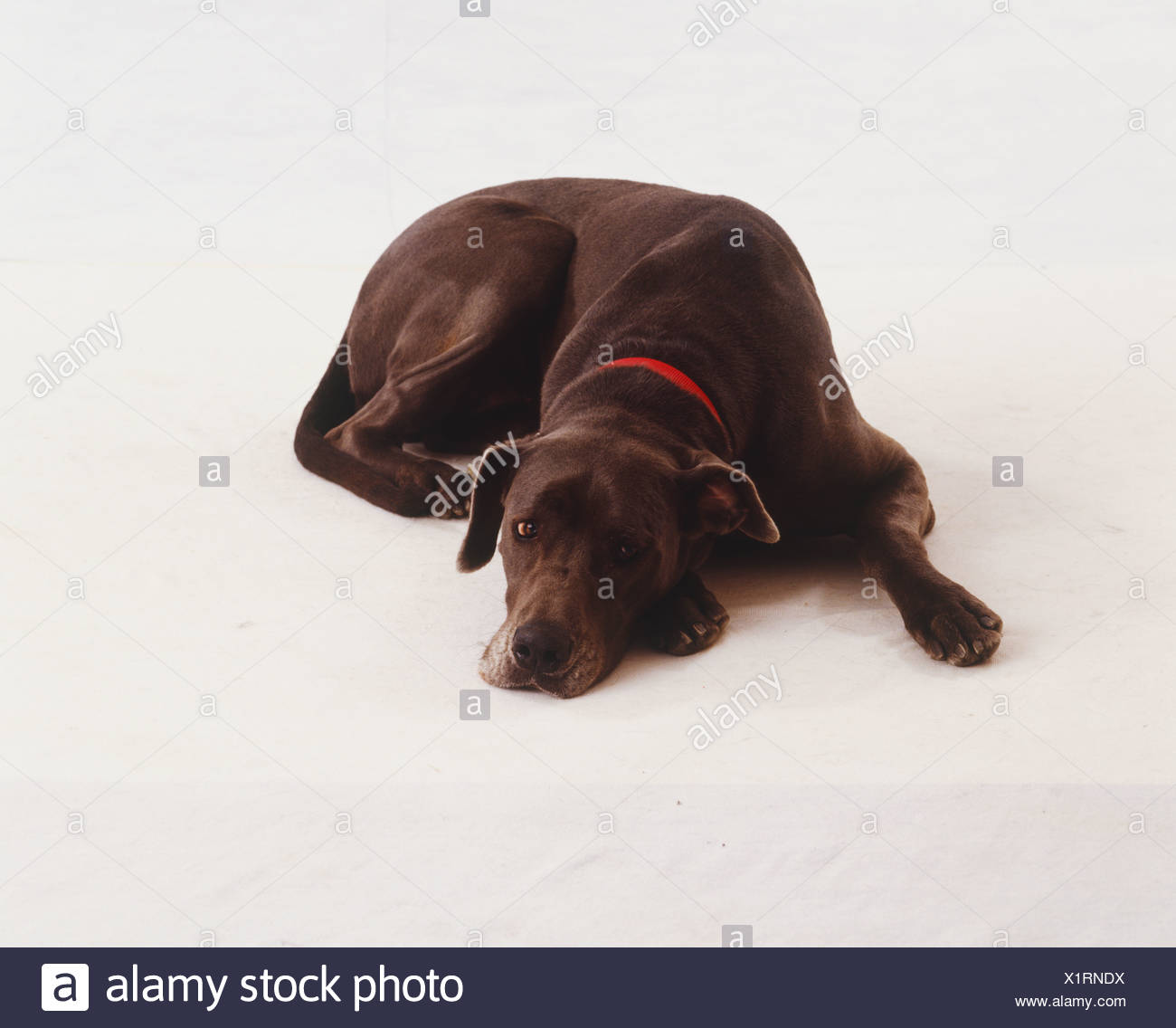 Chocolate brown Great Dane wearing red collar, lying down sleepily, glossy fur, front view. - Stock Image