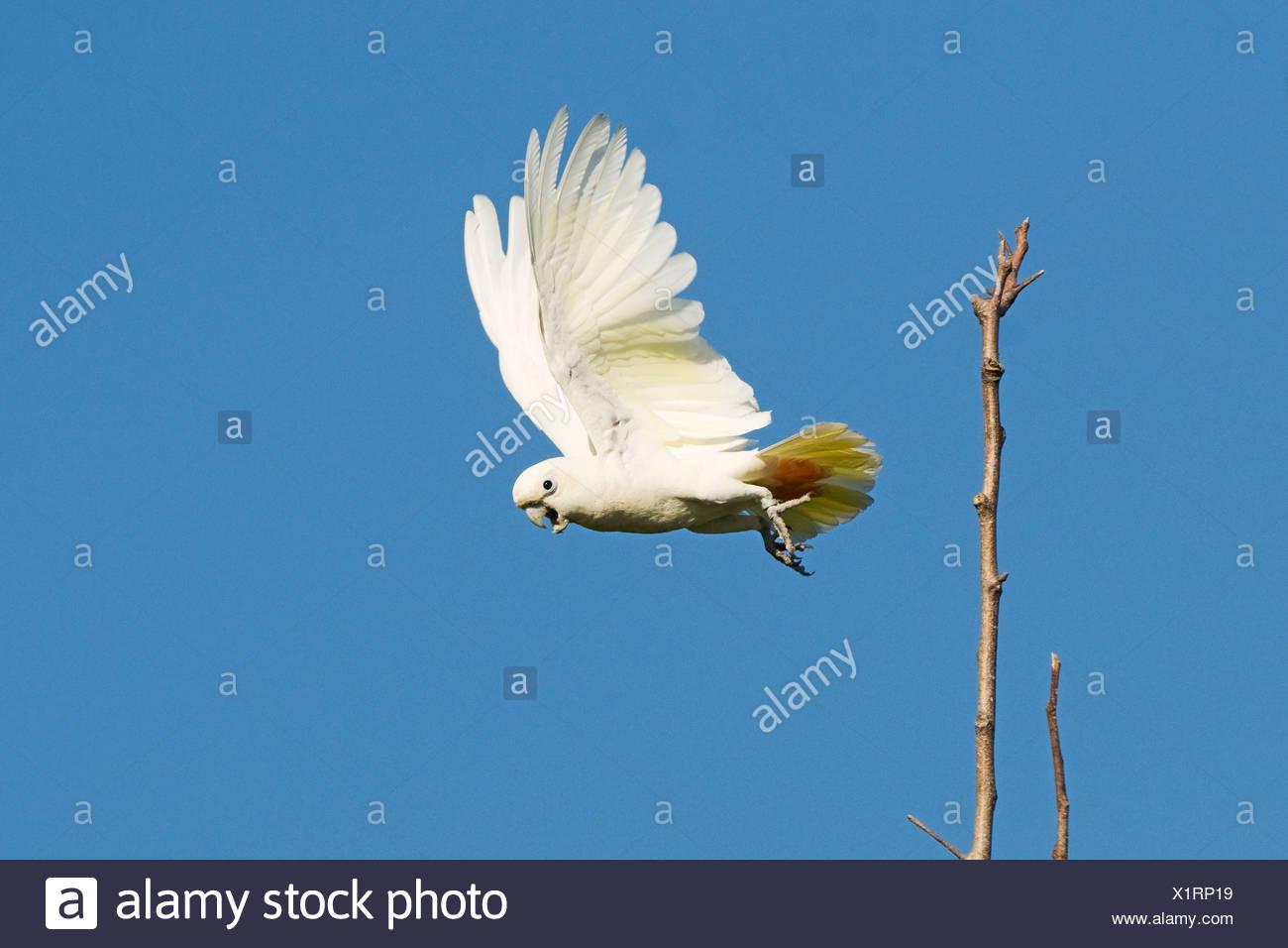 Philippine Cockatoo Cacatua haematuropygia Narra Palawan Philippines - Stock Image