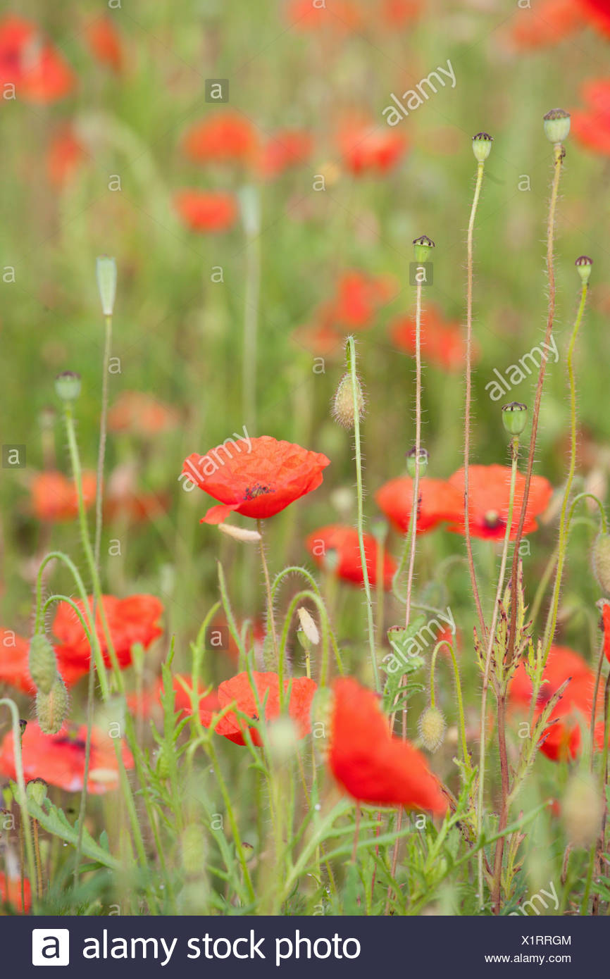 ENGLAND; NORFOLK; POPPY; FIELD; RED; FLOWER; POPPIES; FLOWERS; DETAIL Stock Photo