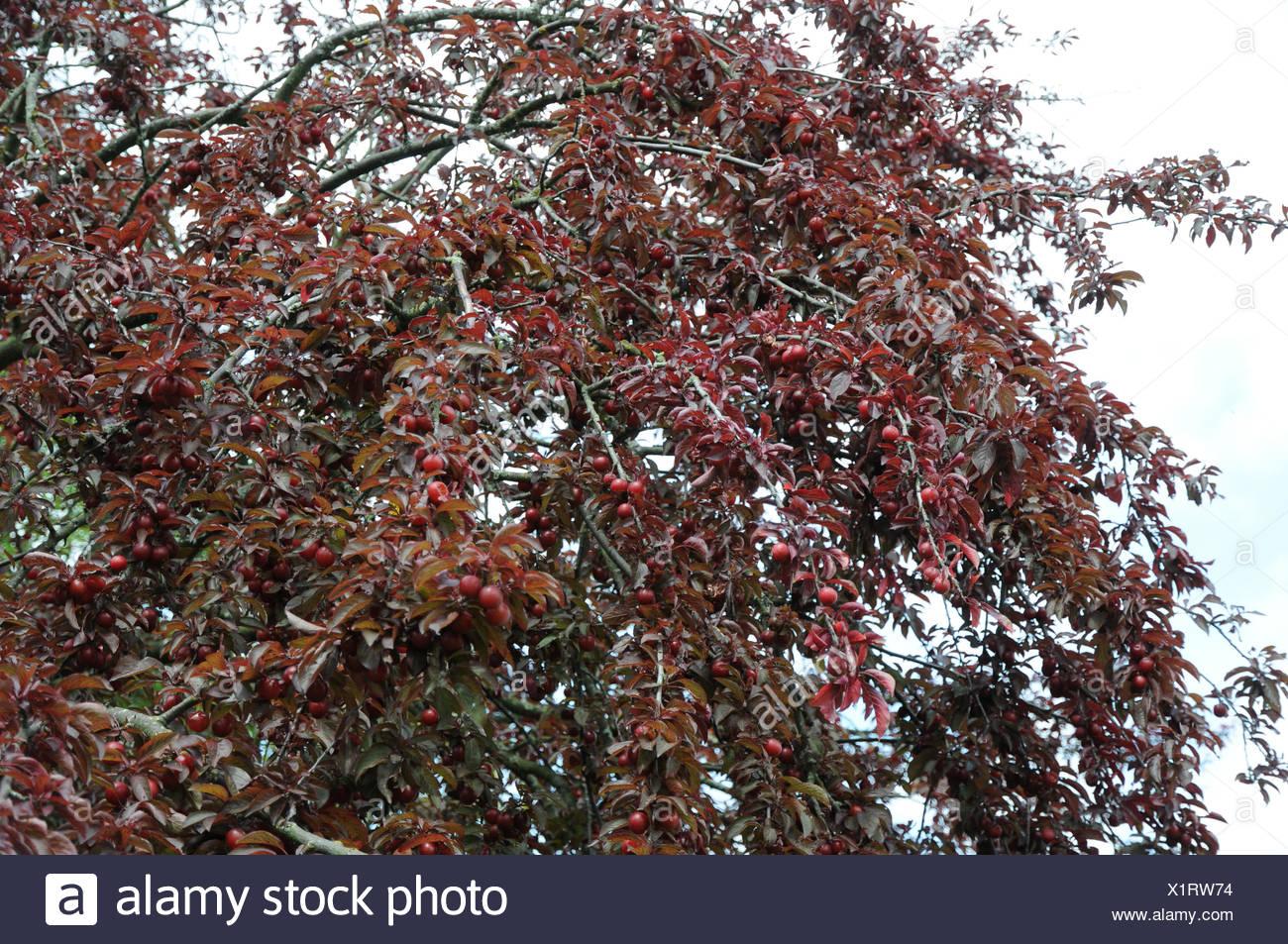 C8 Alamy Com Comp X1rw74 Purple Leaf Cherry Plu