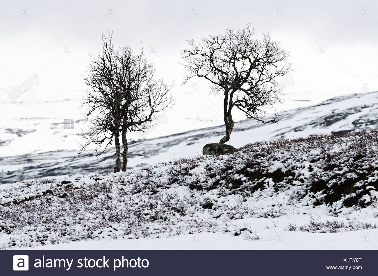 Bare trees with snow on the Hardangervidda mountain plateau, Norway, Scandinavia, Northern Europe - Stock Image