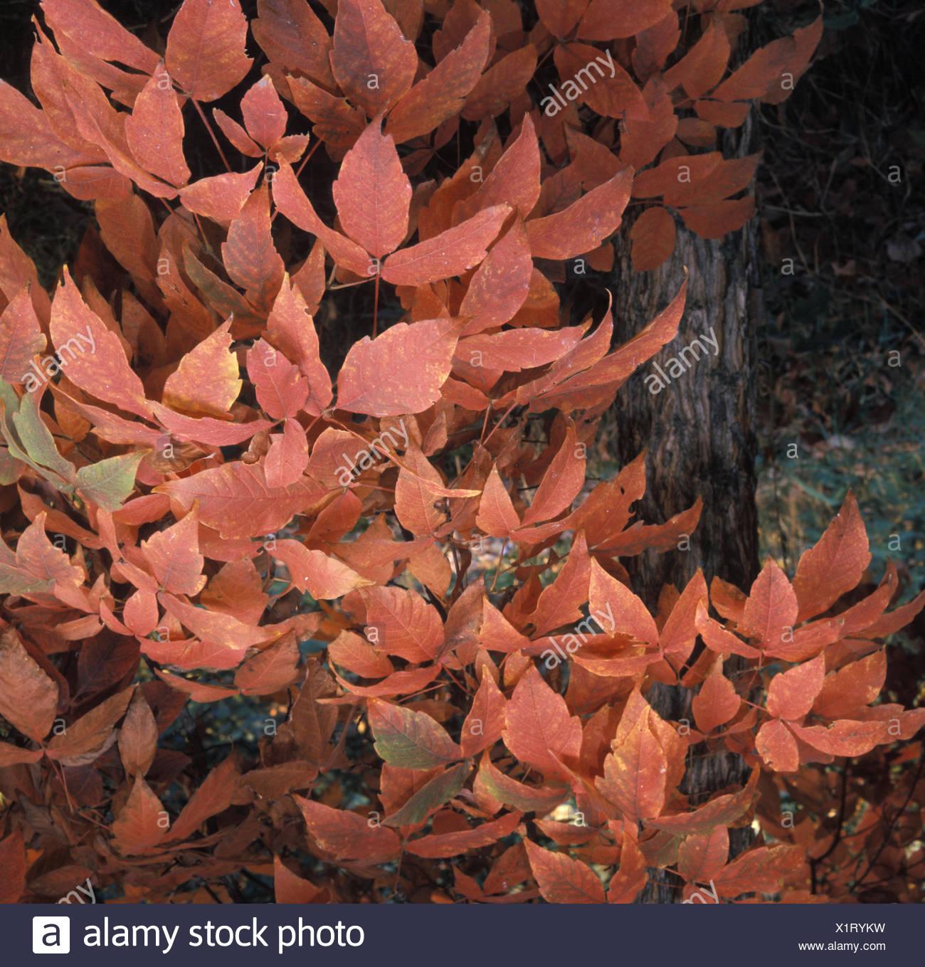 Acer triflorum    Ref: UMW_118361_0005 - Stock Image