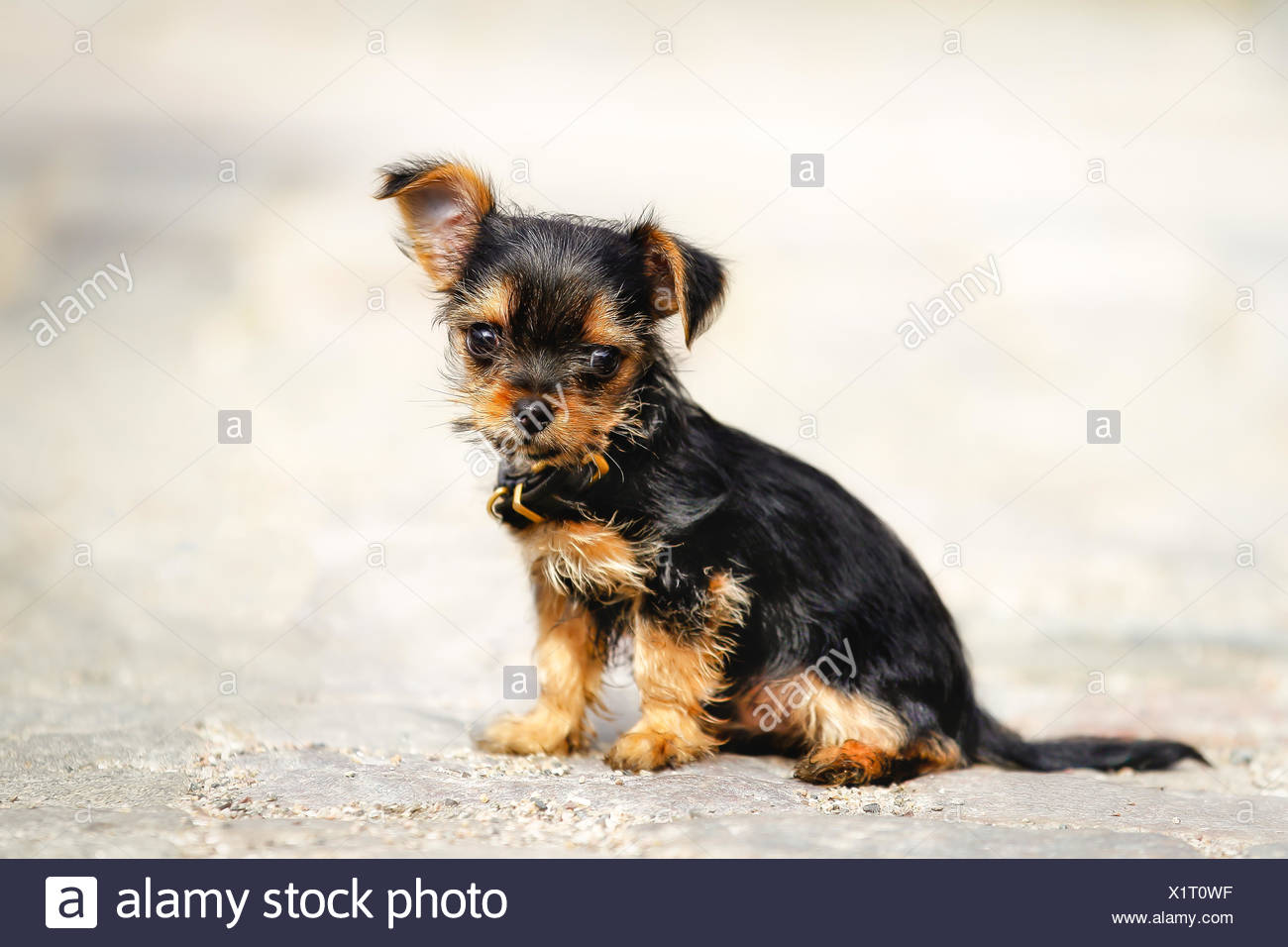 Mixed Bred Puppy Mix Of Yorkshire Terrier And Chihuahua Stock Photo