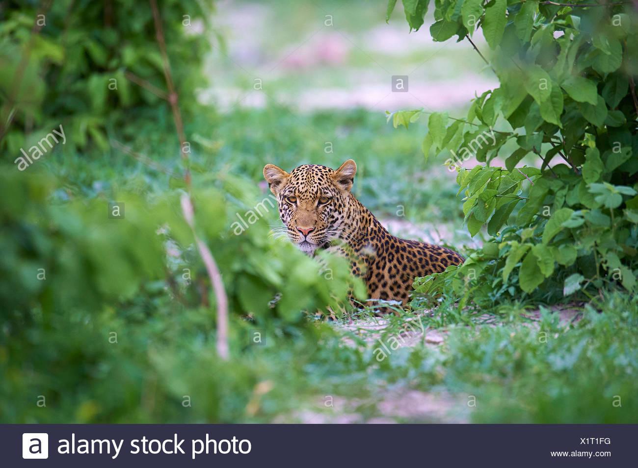 Botswana, Africa, leopard, Savuti, bushes, thicket, animal, Stock Photo