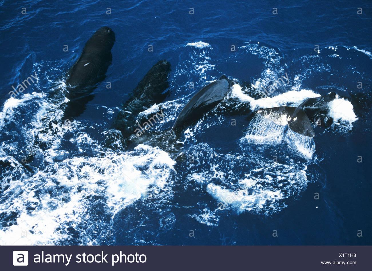 A pod of Sperm whales, Sri Lanka - Stock Image