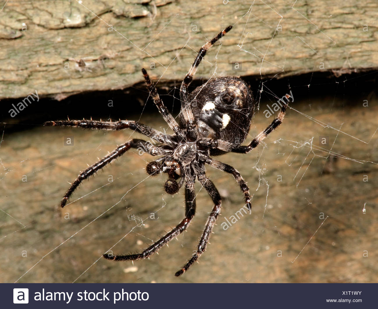 Walnut Orb Weaver Spider nuctenea umbratica nocturnat on fence panel in garden - Stock Image