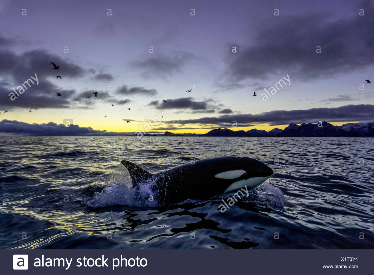 Orca (Orcinus orca) emerges, sunset, mountains at back, Kaldfjorden, Tromvik, Norway - Stock Image