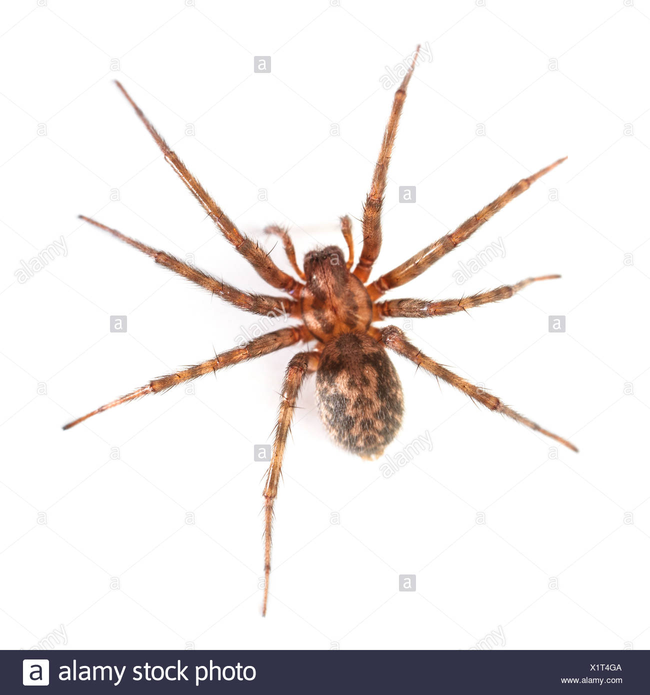 House spider - Stock Image