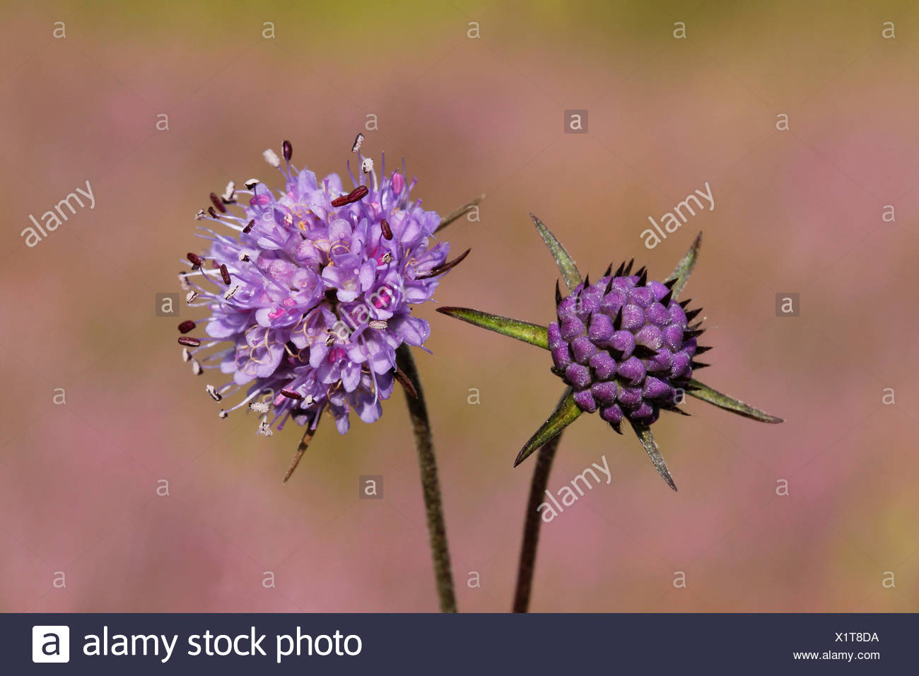 The flowers and buds of the Devil's-bit Scabious have a beautiful lila and blue-purple colour. - Stock Image