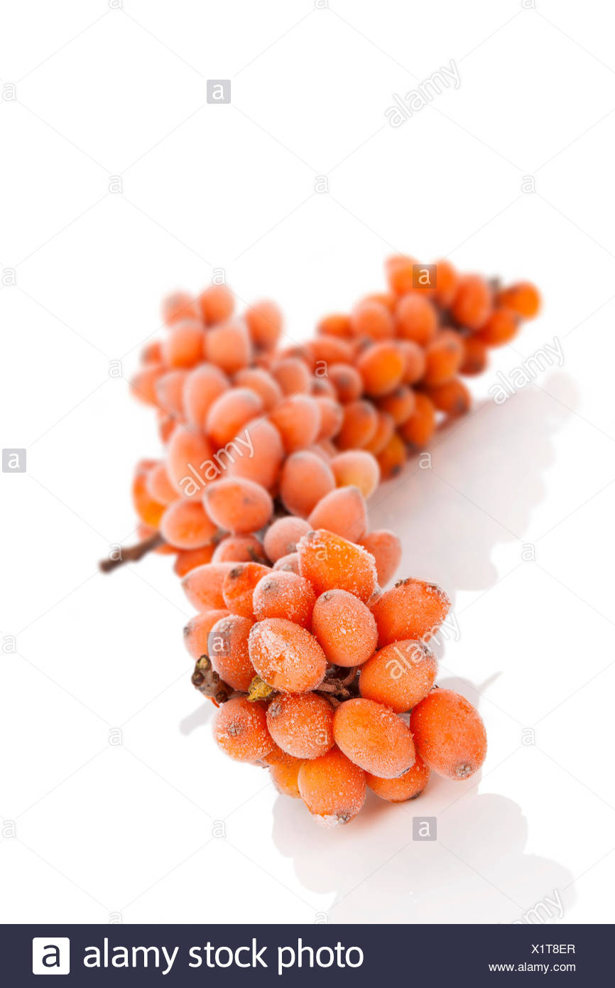 Sea-bucktorn twig with frost on berries isolated on white background. Natrural antioxidant, alternative medicine concept. Stock Photo