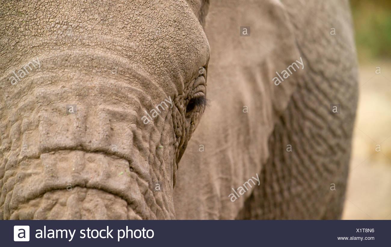 A close up of an elephant's trunk, eye and ear in Lake Manyara National Park, Tanzania. - Stock Image
