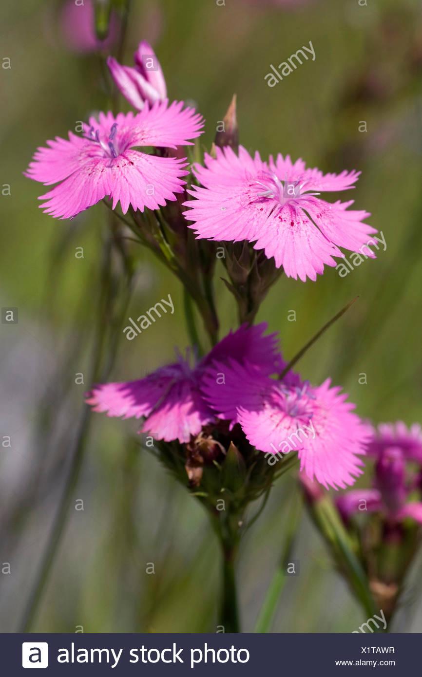 Ragged Pink (Dianthus seguieri), flowers, Germany - Stock Image
