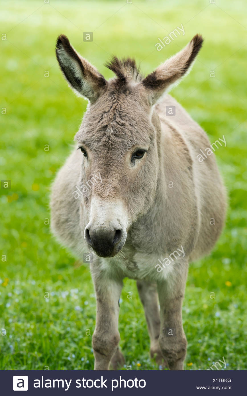 Domestic donkey (Equus asinus asinus), portrait, Germany - Stock Image