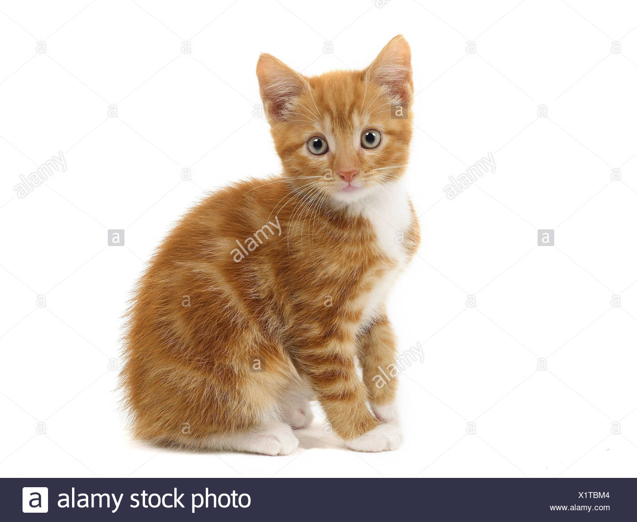 A small ginger and white kitten. - Stock Image