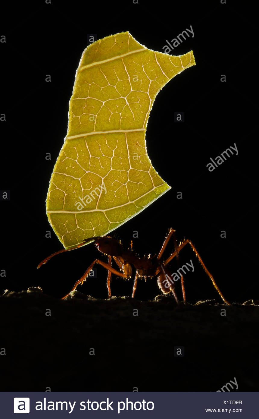 A leaf cutter ant carrying part of a leaf back to its nest to cultivate a fungus. - Stock Image