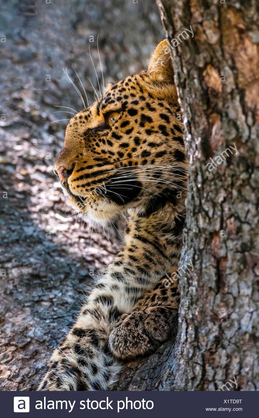 A leopard reveals itself through a tree limb, Linyanti Marshes, Botswana. Stock Photo