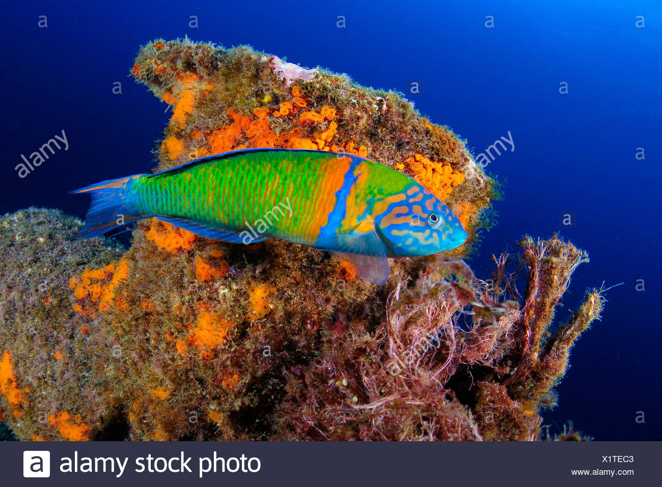 The ornate wrasse, Thalassoma pavo, is a species of wrasse native to the eastern Atlantic Ocean. Here it swims along a bollard of a shipwreck. - Stock Image