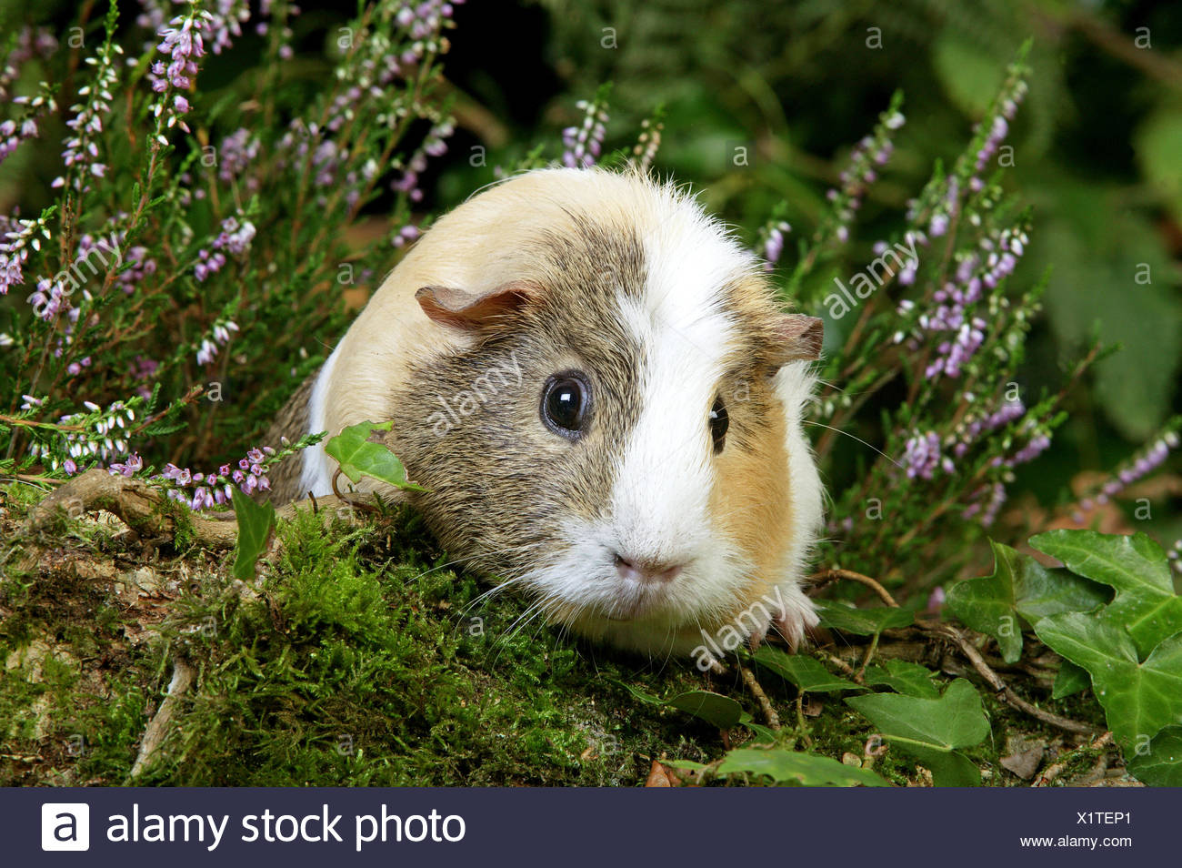 Guinea Pig, cavia porcellus, Adult in Heaters - Stock Image